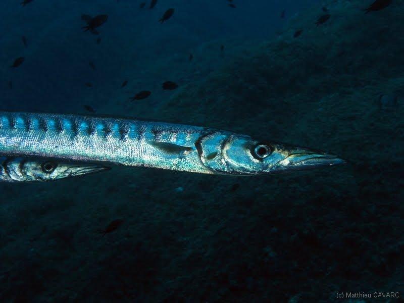 Quel est ce poissons ?